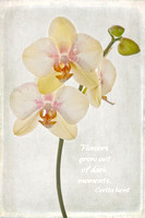White Orchids with White Background