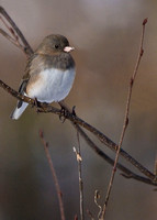Junco Sitting on a Branch